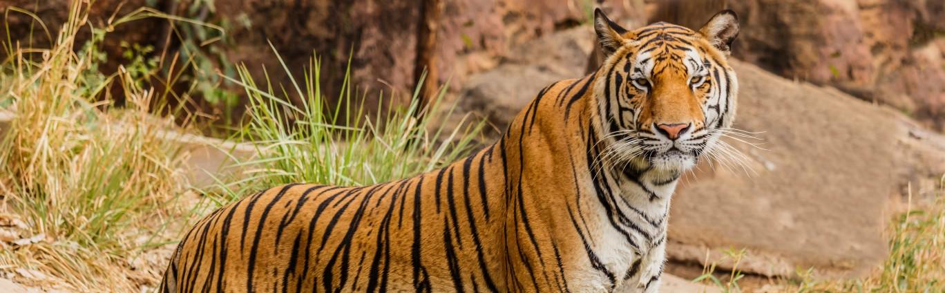 A single tiger sitting
